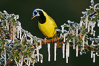 Green Jay (Cyanocorax yncas), adult perched on icy Agarita (Berberis trifoliolata) branch, Dinero, Lake Corpus Christi, South Texas, USA