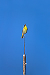 Common Yellowthroat sings from its perch on a cattail stem in Lee Metcalf Wildlife Refuge in Montana