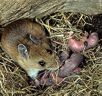 MU27-192z  White-Footed Mouse - with 3 day old young -  Peromyscus leucopus