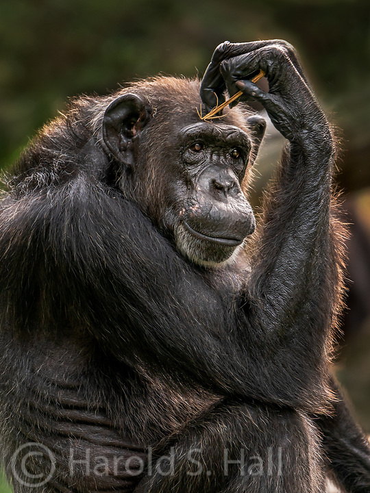 Sometimes I Sits and Thinks and Sometimes I just Sits.  Taken at the Singapore Zoo.