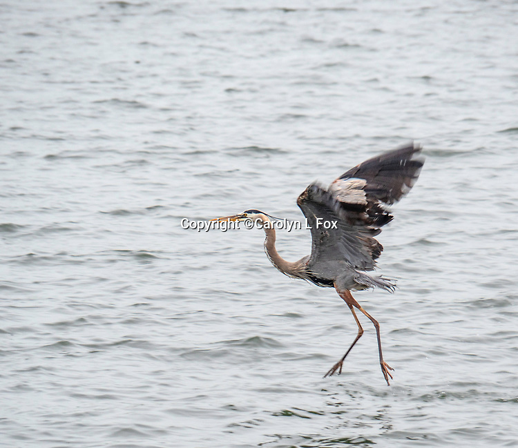 A Great Blue Heron flies from one spot to another.