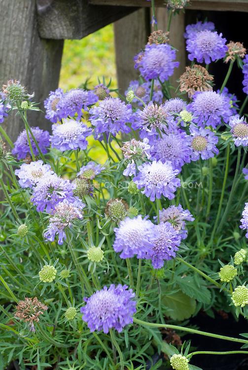 Scabiosa 'Mariposa Blue', blue flowered pincushion plant
