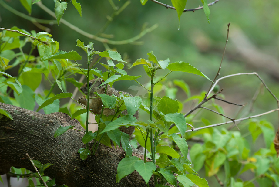 Smith's bush squirrel (Paraxerus cepapi)