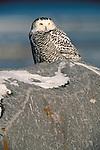 Snowy Owl, Churchill, Manitoba, Canada