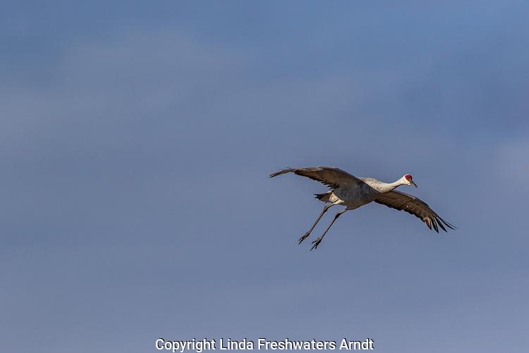 Sandhill crane preparing to land in Crex Meadows Wildlife Area.