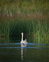 Trumpeter Swan family @ Anchorage's Potter Marsh evening light