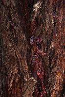 Eucalypt bark and sap makes an interesting abstract.