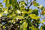 Moraceae - Maulbeergewächse