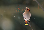 Bohemian Waxwing perched on a small branch in the snow.