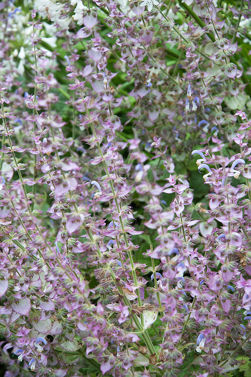 Salvia sclarea var. turkestanica, early August.