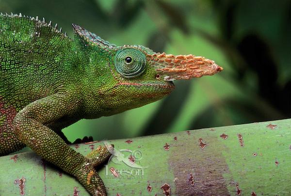 FISCHER'S CHAMELEON. Male..Native to Tanzania & Kenya..(Chamaeleo fischeri). Captive.