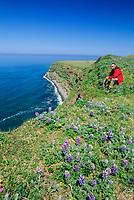Man rests in the lupine wildflowers along the ridge of the steep cliff coast of St. Paul, Pribilof Islands, Bering Sea, Alaska.