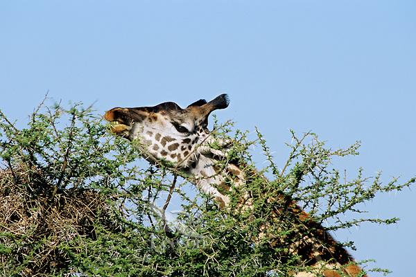 Masai Giraffe (Giraffa camelopardalis) feeding in thorn bush.  East Africa.