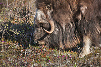Bull muskox with shedding qiviut (fur) feeds on the summer tundra vegetation of Alaska's Arctic North Slope.