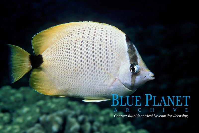 milletseed butterflyfish, Chaetodon miliaris, endemic, Kaiwi Point, Big Island, Hawaii, Pacific Ocean