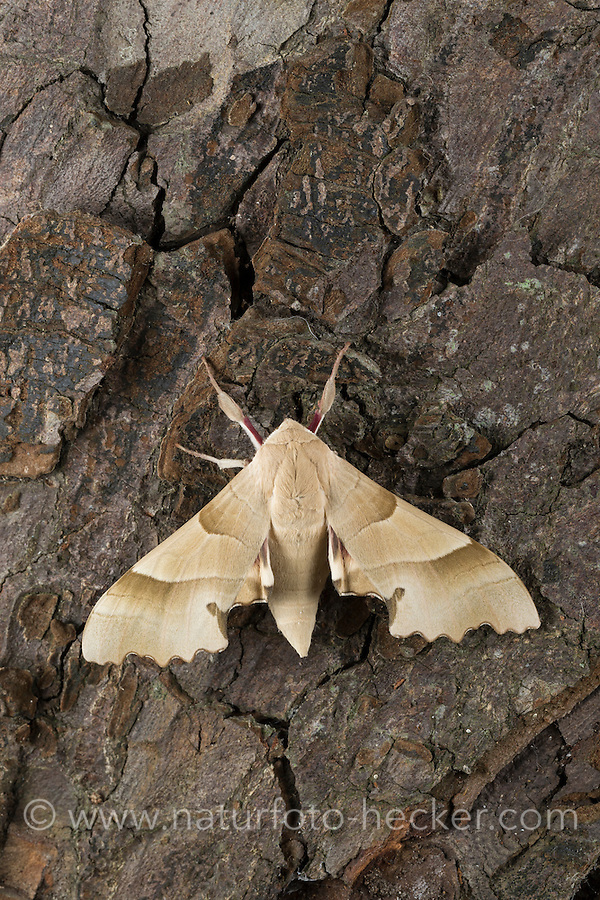 Eichenschwärmer, Eichen-Schwärmer, Marumba quercus, Oak Hawk-moth, Oak Hawkmoth, Le Sphinx du chêne, Schwärmer, Sphingidae, hawkmoths, hawk moths, sphinx moths