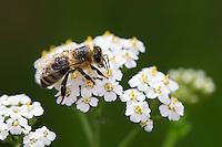 Honigbiene, Honig-Biene, Biene, Bienen, Apis mellifera, Apis mellifica, Blütenbesuch auf Schafgarbe, Nektarsuche, Blütenbestäubung, honey bee, hive bee, bee, bees