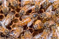 Queen bee, Honey bees (Apis mellifera)