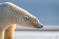 About as close as you can safely get to a wild Polar Bear - from a boat off the shore, with a telephoto lens.  Kaktovik, Alaska.