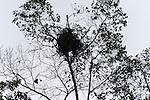 Bornean Orangutan (Pongo pygmaeus wurmbii) - nest