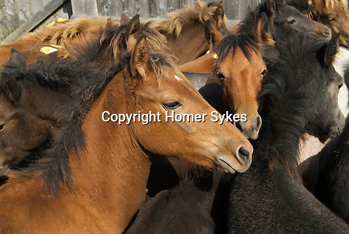 The annual New Forest Pony autumn auction Beaulieu Road Saleyard Lyndhurst, Hampshire England 2006..