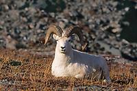Dall sheep ram rests on the autumn tundra in the Alaska mountain range, Denali National Park, Alaska.