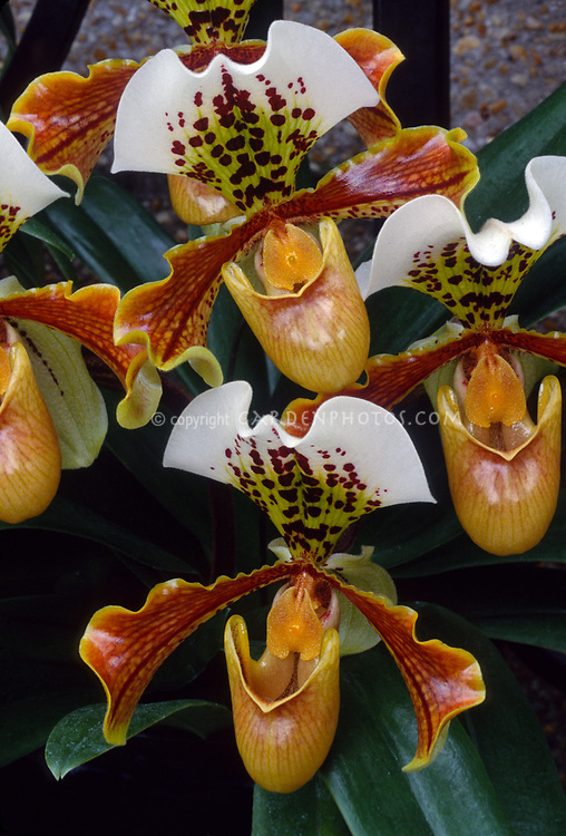 Paphiopedilum Leeanum, early old orchid primary hybrid of insigne x spicerianum, 1884