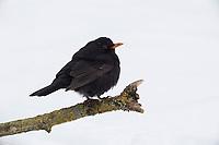 Amsel, Schwarzdrossel, Männchen, Winter, Schnee, Turdus merula, Blackbird, male, snow, Merle noir
