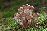 Gewöhnlicher Hallimasch, Dunkler Hallimasch, Halimasch, Honigpilz, Honig-Pilz, Armillaria solidipes, Armillaria ostoyae, Armillariella polymyces, Dark Honey Fungus, honey mushroom