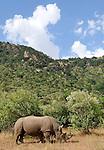 An African black rhinoceros (Diceros bicornis minor) on the Masai Mara National Reserve safari in southwestern Kenya.