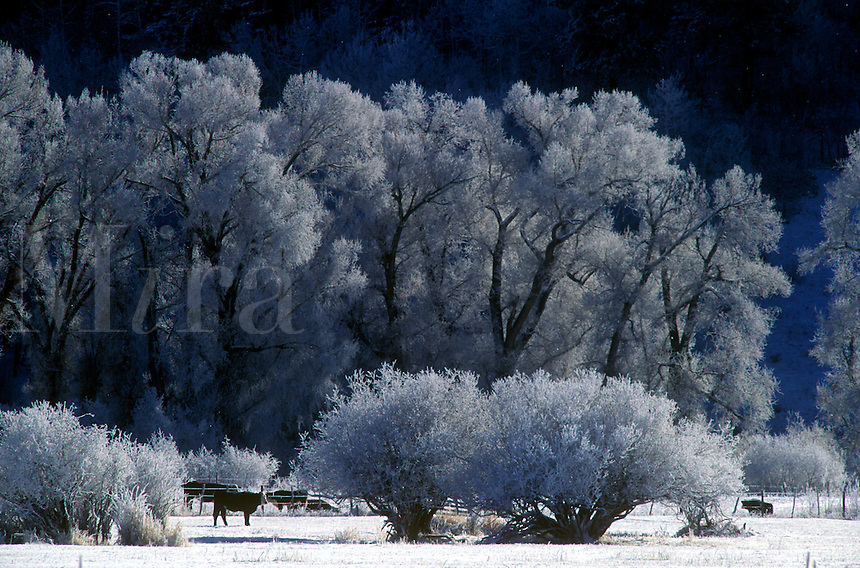 Frost and snow covered trees and field with cows.