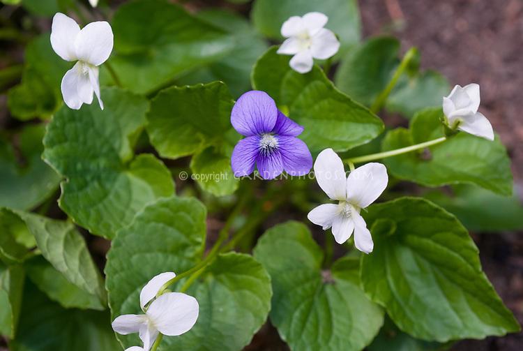 Viola purple and white violets, Sweet violets Viola odorata, Viola sonoria, host plants for butterflies