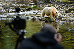Tourist photographing adult spirit bear or Kermode bear (Ursus americanus kermodei)(pale/white morph of an North American black bear). Along Gwaa stream, Gribbell Island, Great Bear Rainforest, British Columbia, Canada. September 2018.