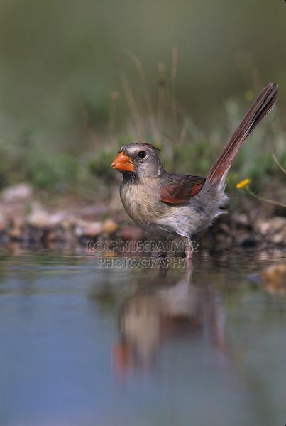 Northern Cardinal, Cardinalis cardinalis, female bathing, Lake Corpus Christi, Texas, USA