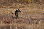 A gray wolf stands alert as it surveys the tundra in Denali National Park, Alaska.