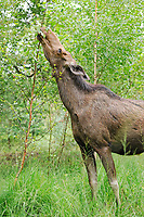 Eurasian elk or moose (Alces alces), cow eating leaves, state game reserve, Germany, Europe