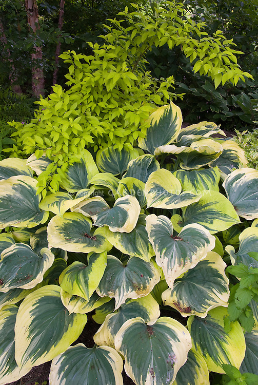 Hosta Liberty, bold leaved variegated shade garden foliage plant with wide cream edge border and dark green blue interior, in shaded garden use