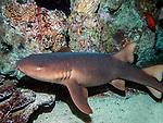 Nurse shark 3/4 shot swimming lweft at base of coral reef