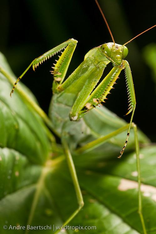 Praying mantis (Mantidae) in montane rainforest along the eastern Andes, Manu National Park, Cusco, Peru.