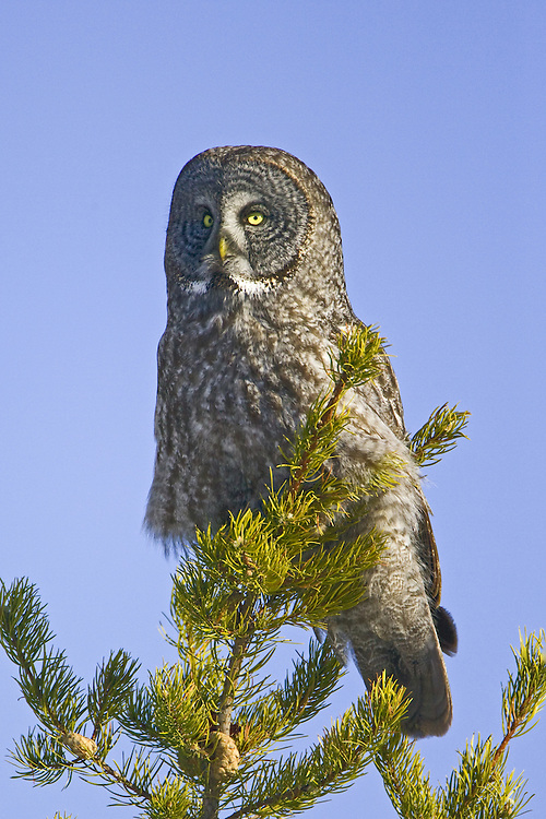 Great Grey Owl perched on the top of a pine tree