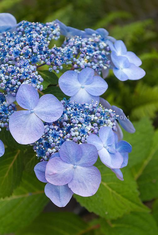 Hydrangea macrophylla Endless Summer series 'Twist-n-Shout'