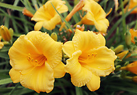 Close up of a pair of yellow day lily flowers - Free nature stock image.