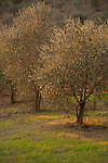 Sunset in an Italian olive grove.