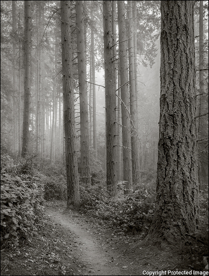 Vashon Island, Washington:<br /> Island Center Forest, Gallops trail in fog
