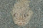 Whitemargin stargazer (Uranoscopus sulphureus) partly buried in the sand.