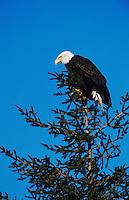 Bald Eagle, Haliaeetus leucocephalus,adult on tree, Homer, Alaska, USA, March 2000