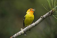 Western Tanager (Piranga ludoviciana), adult male singing, Rocky Mountain National Park, Colorado, USA