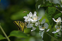 Western Tiger Swallowtail (Papilio rutulus) and honeybee nectaring on mock-orange bush,  Pacific Northwest.