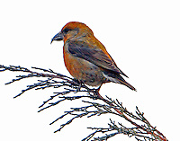First-year male red crossbill