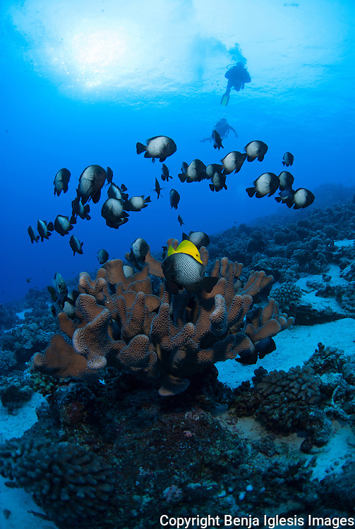 Diver swimming over antler coral crowded with Domino damsell.